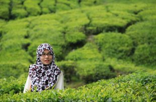 tea-plantation-cameron-highlands-1