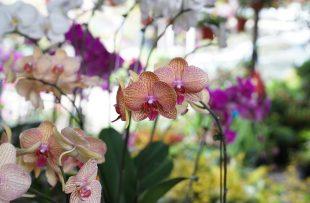 orchids-2706341_1920