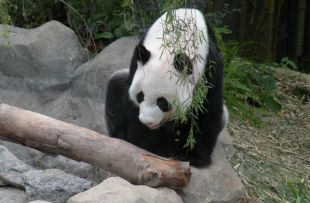 panda-665192_1920